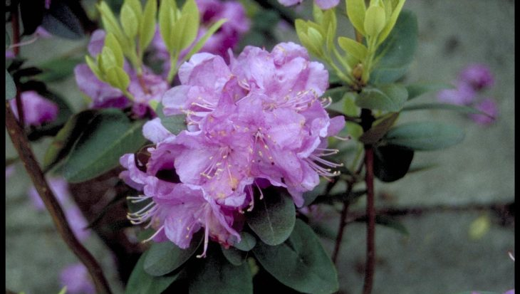 Rhododendron dauricum
