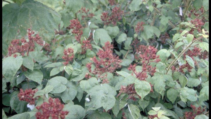 Rubus phoenicoelasius