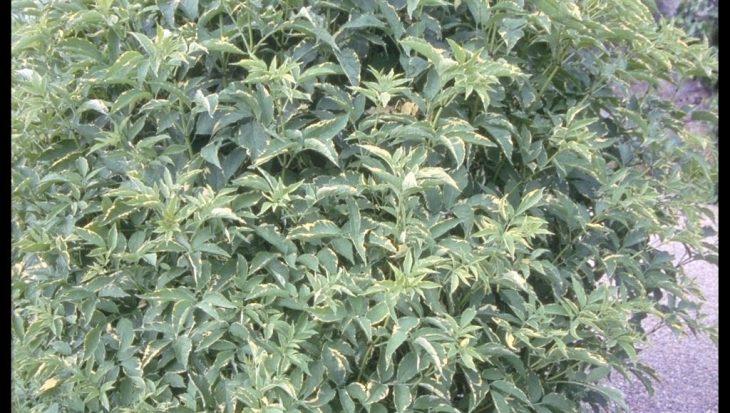Sambucus nigra 'Aureomarginata'