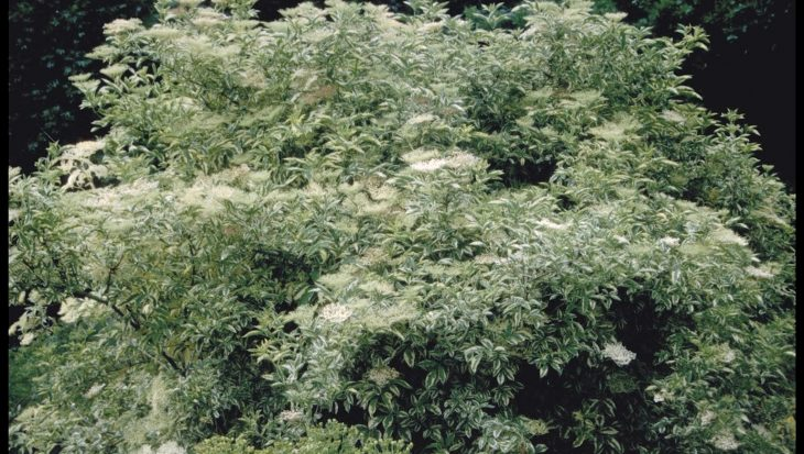 Sambucus nigra 'Variegata'