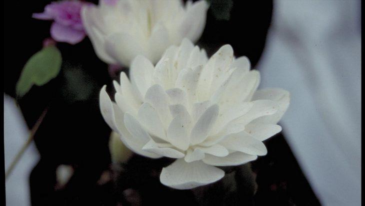 Sanguinaria canadensis 'Multiplex'