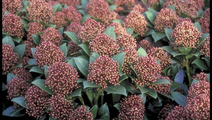 Skimmia japonica 'Wanto'