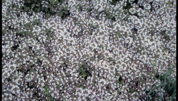 Thymus praecox 'Vey'