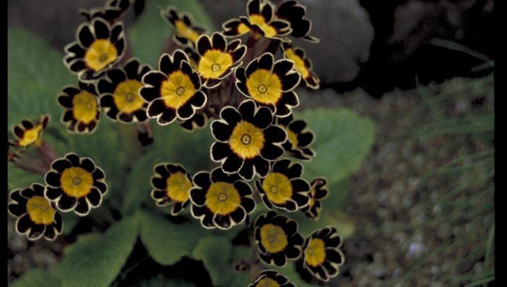 Primula Gold Lace Hybrids