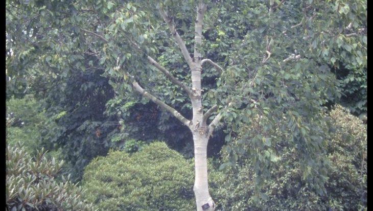 Betula utilis subsp. jacquemontii