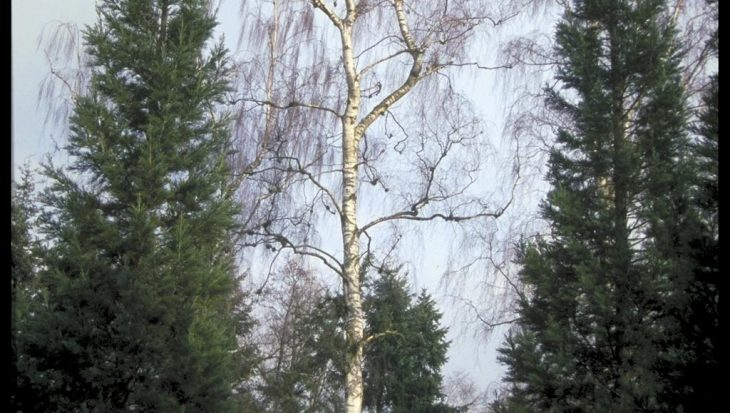 Betula pendula 'Tristis'