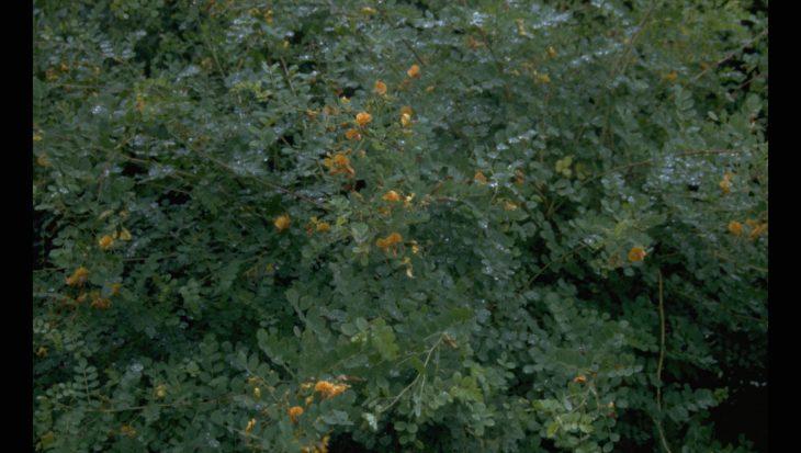Caragana arborescens 'Walker'