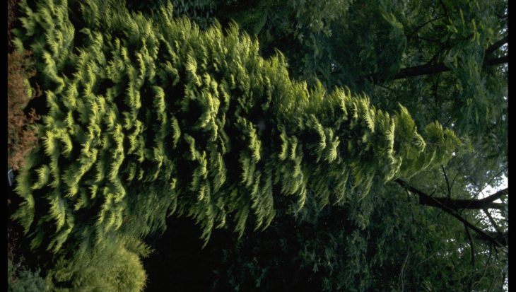 Chamaecyparis lawsoniana 'Lane'