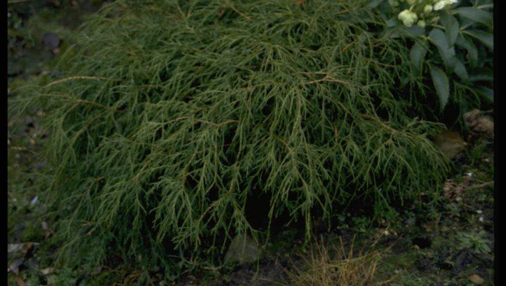Chamaecyparis pisifera 'Filifera'