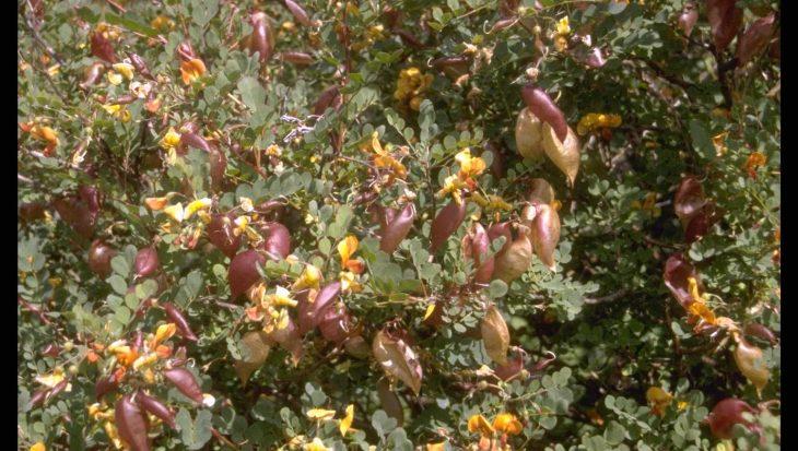 Colutea x media 'Copper Beauty'