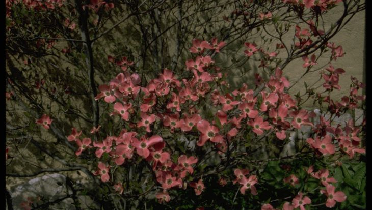 Cornus florida f. rubra