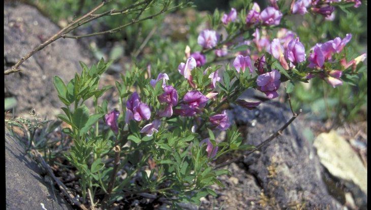 Chamaecytisus purpureus