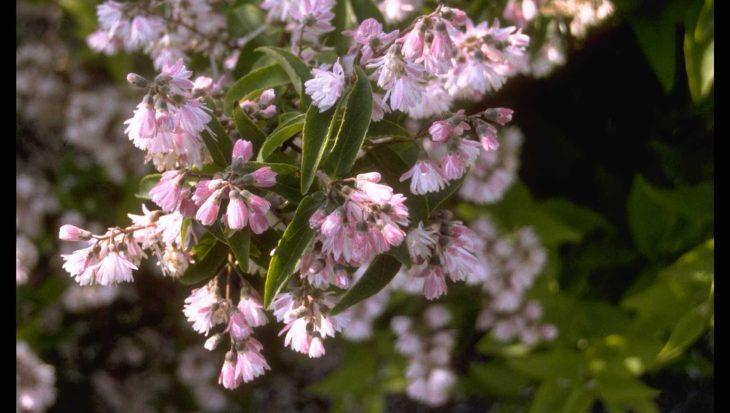 Deutzia scabra 'Candidissima'