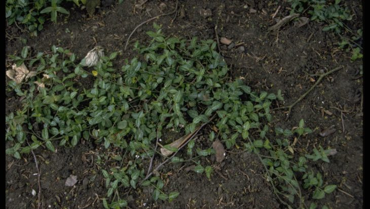 Euonymus fortunei 'Tustin'