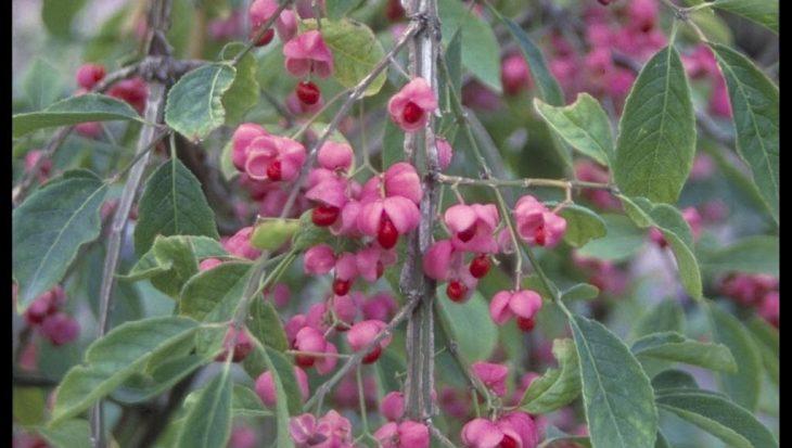 Euonymus phellomanus