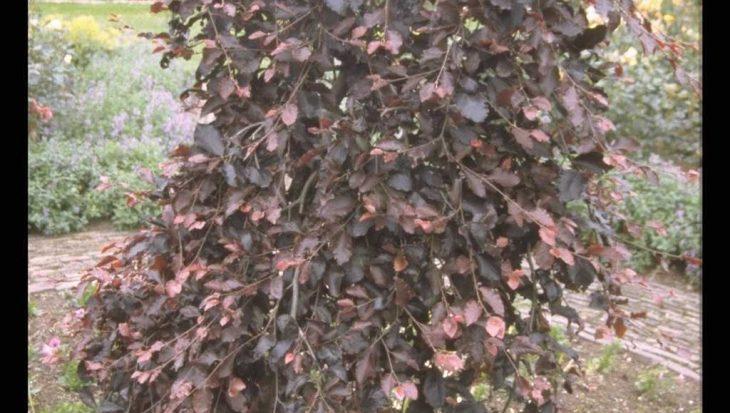 Fagus sylvatica 'Purpurea Pendula'