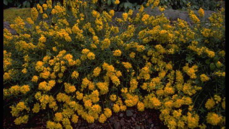 Genista tinctoria 'Flore Pleno'