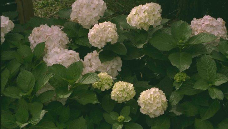 Hydrangea macrophylla 'Soeur Th?r?se'