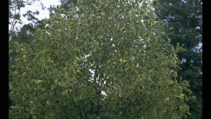 Liriodendron tulipifera 'Aureomarginatum'
