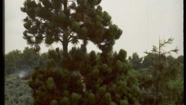 Pinus leucodermis 'Satellit'
