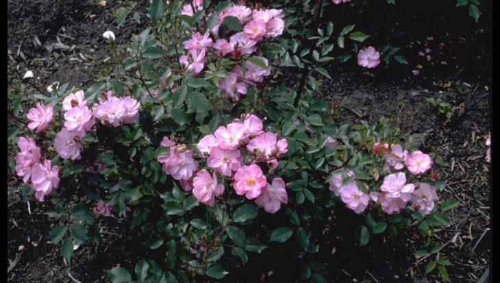 Rosa 'Interlav'