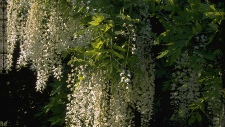 Wisteria floribunda 'Shiro-noda'