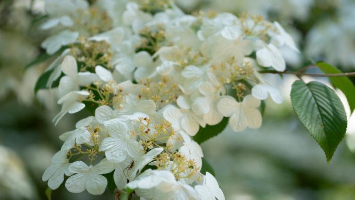 Viburnum plicatum nanum semperflorens