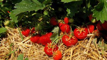 Zelf heerlijke aardbeien kweken