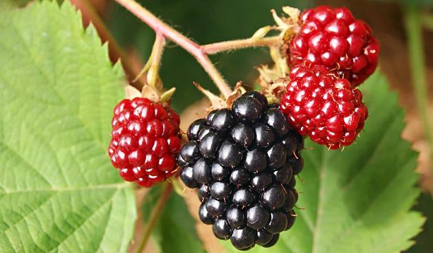 Bessen, bramen en frambozen: gemakkelijk zelf te kweken