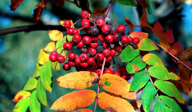 Bomen en heesters met kleurige bessen