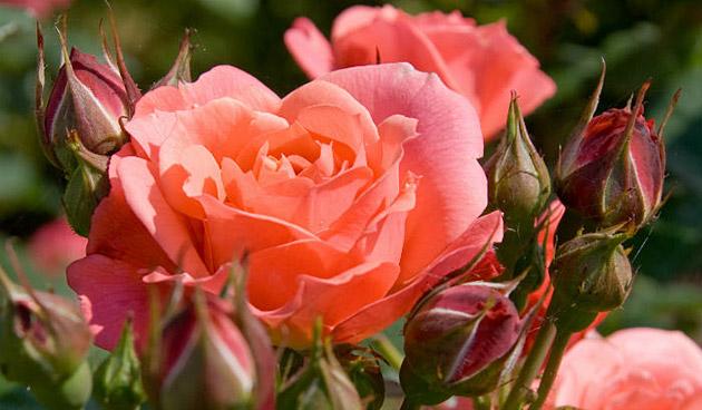 Deze rozen snoei je in de zomer