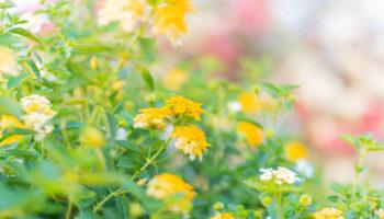 Lantana - vorstgevoelige planten