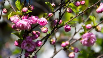 Prunus triloba snoeien