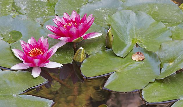 Onmisbare waterplanten voor de vijver