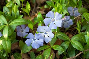 Bodembedekkers: vinca minor