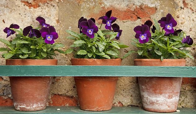 Hartverwarmende viooltjes tijdens koude maanden