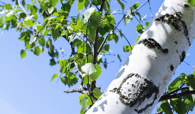 Bomen en klimmers snoeien vóór de sapstroom
