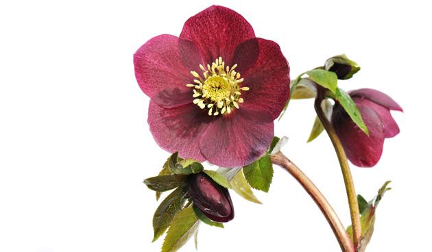 Helleborusblad afknippen voor betere bloemen