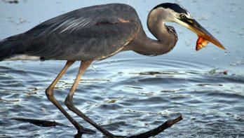 Vissen beschermen tegen reigers en andere rovers