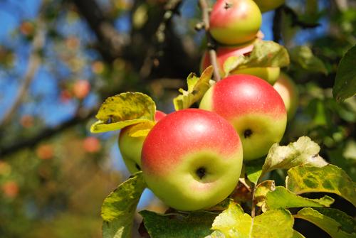 Snoei je appelbomen