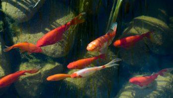 Vissen in de vijver op de spaarstand