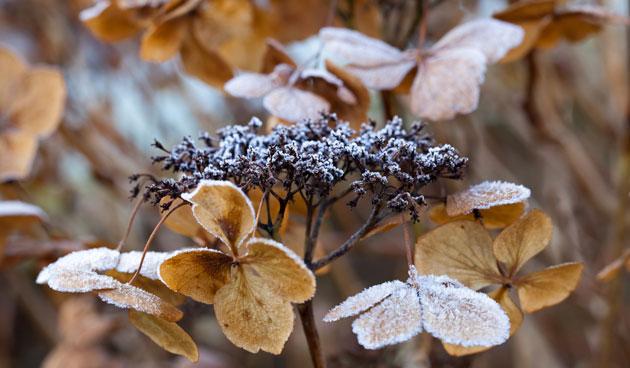 Hortensia's afknippen: wacht tot na de winter