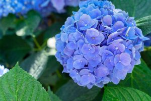 hortensia's afknippen