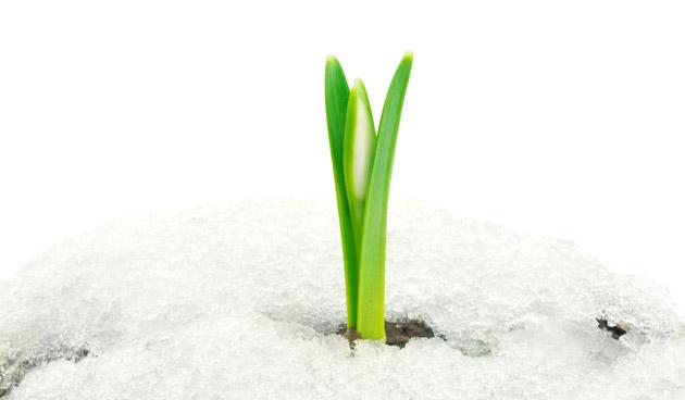 Sneeuwklokje maakt zich op voor de bloei