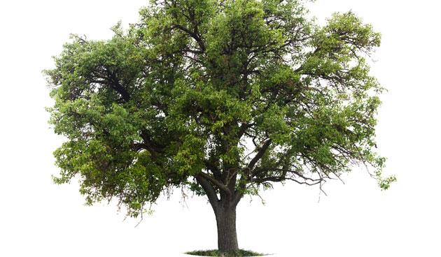 Is de winter een geschikte tijd om bomen te snoeien?