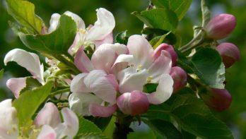 Wat is de beste plek voor een fruitboom?