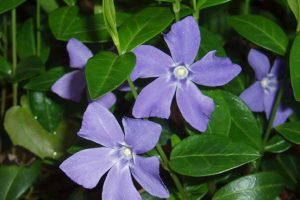 Maagdenpalm (Vinca minor)