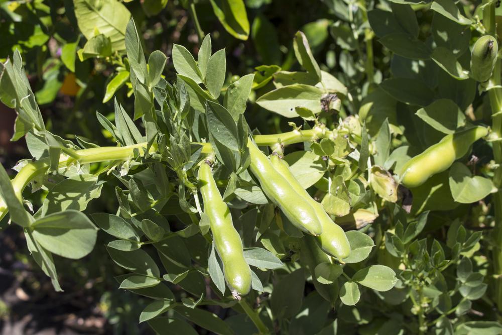 Tuinbonen, moestuin, zelf kweken, doppen, tuinseizoen