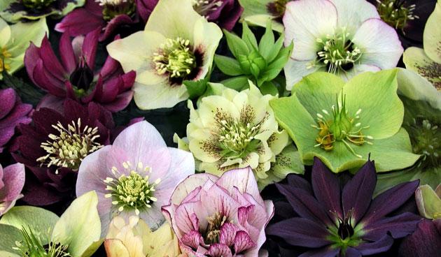 Helleborus: 6 fantastische soorten
