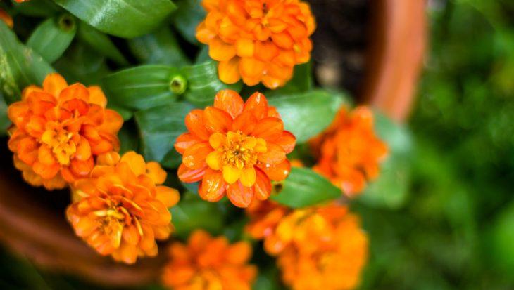 Vrolijke oranje eenjarigen